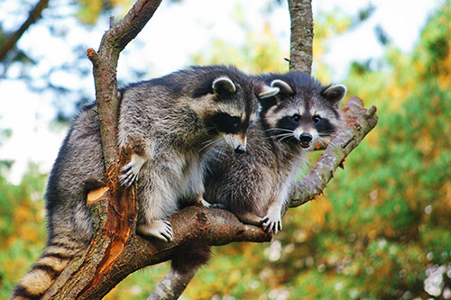 Springfield Animal Pest Removal Service Barnes Wildlife