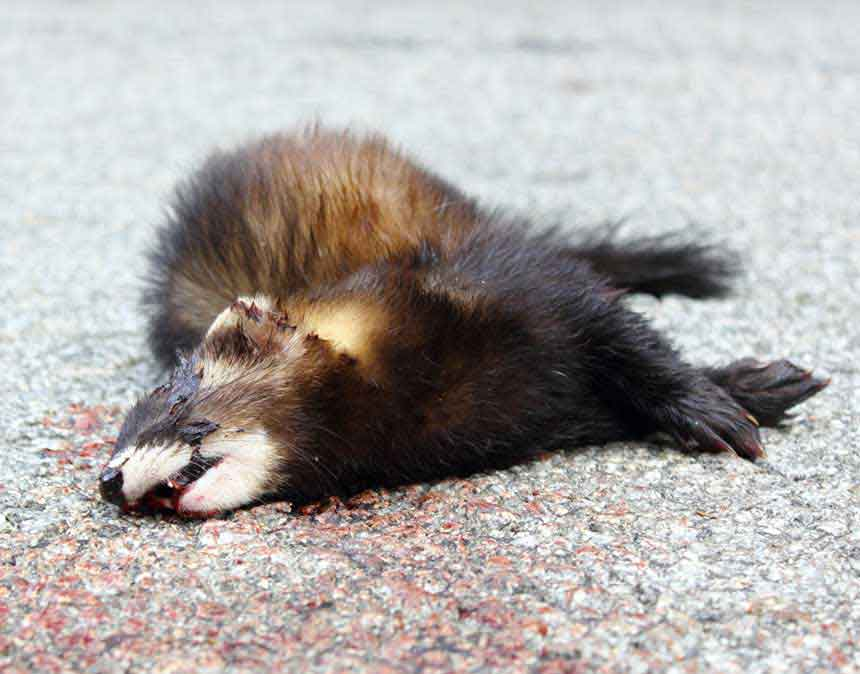 DEAD MINK IN THE MIDDLE OF A CLIENT'S DRIVEWAY. DON'T WANT TO HANDLE DEAD ANIMALS - NO WORRIES - WE WILL.