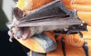 Little Brown Bat Trapped and Removed from Oakwood