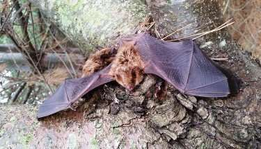Indian Lake Ohio Bat Removal Service by Barnes Wildlife Control of Ohio. Bat Safely Removed And Relocated.