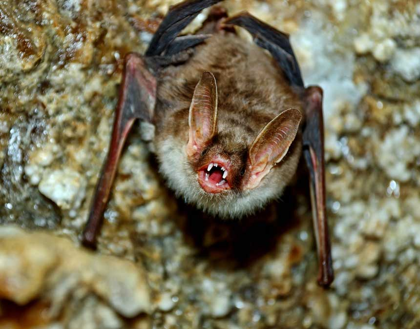 LITTLE BROWN BATS ARE FOUND THROUGHOUT THE US AND IN MANY OF OUR CLIENT'S HOMES