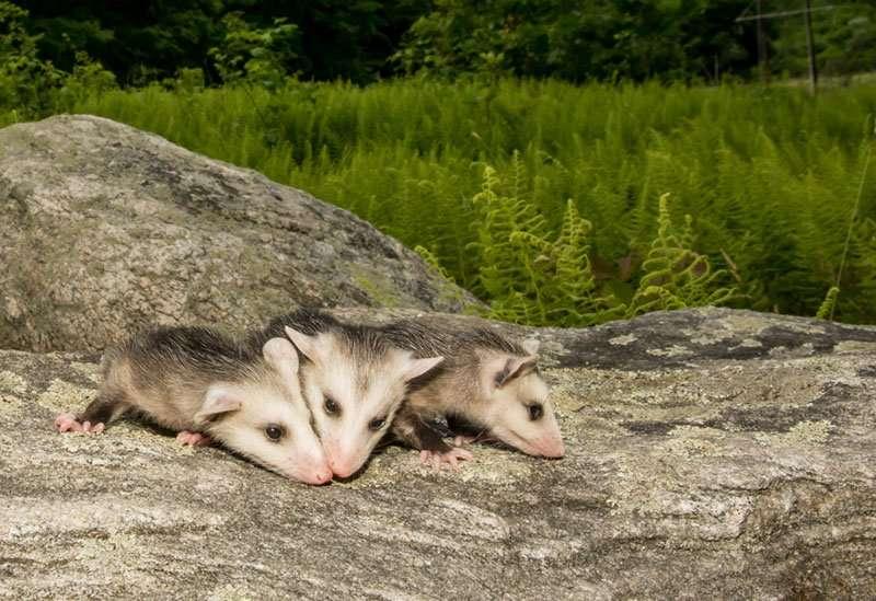 possum-family at barnes wildlife control