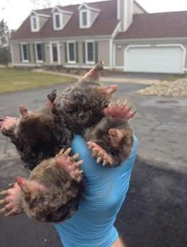 4 Moles Removed from Dayton Ohio Lawn in 1 day of mole trapping