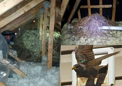 Starling bird nest removal Huber Heights insulated attic