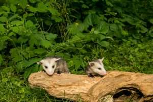 Barnes Wildlife Control Opossum advice: baby opossums are very cute but do not handle them!