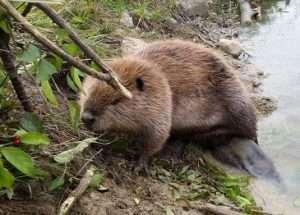 A beaver is much larger than a muskrat.