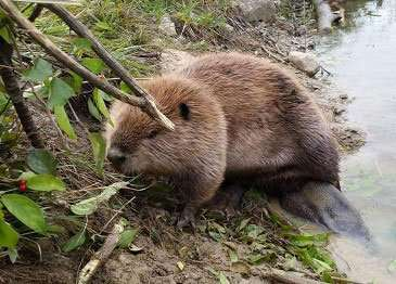 Beaver Trapped & Removed from Pond. Beavers are much larger and cause more tree damage than muskrats.