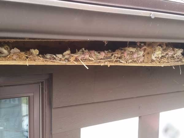 Animal damage repairs and wildlife exclusion service needed for siding damage done by wildlife.