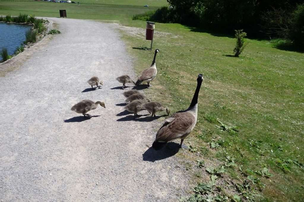 BARNES WILDLIFE CONTROL: Canadian Geese and their offspring