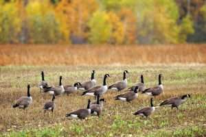 Are Canadian Geese overwhelming your property during hunting season?