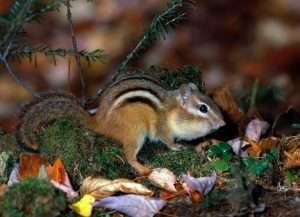 Are chipmunks getting into your garden and causing damage? We can help!