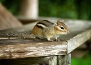 Barnes Wildlife Control will keep chipmunks out of your yard header. We are number 1 in chipmunk removal and control!