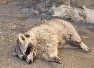 Dead Raccoon in Enon Backyard