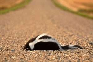Need us to remove a dead skunk. Contact us now!