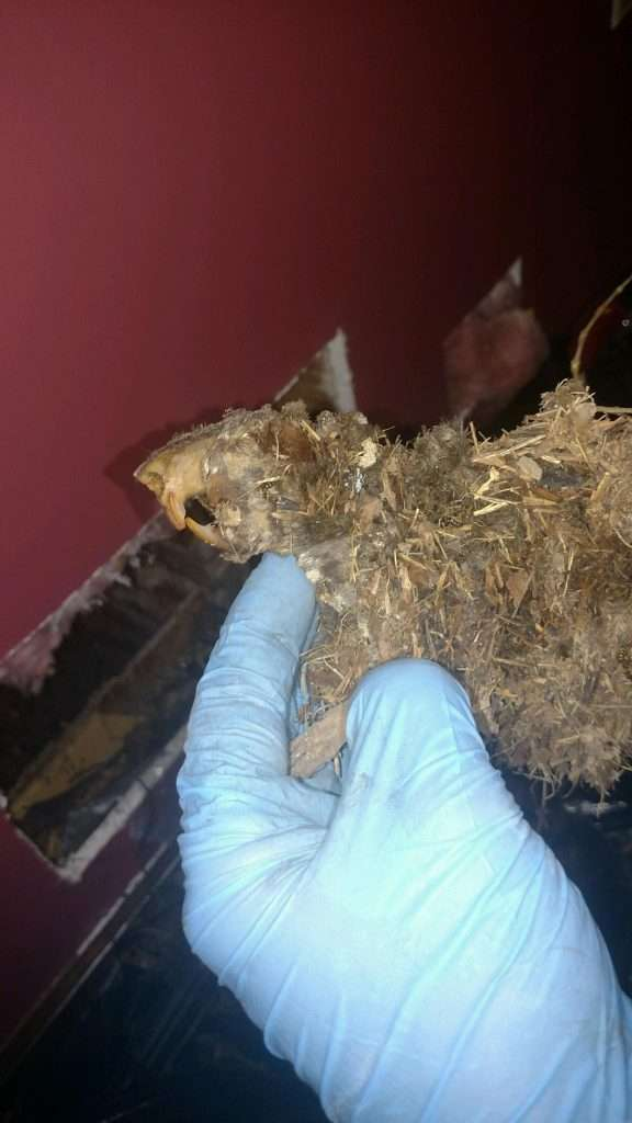 Dead Animal Carcass Removal by Barnes Wildlife Control