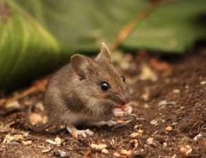 Deer Mice are often found in fields and woodlots but when your home has gaps that provide a pathway to shelter or food.