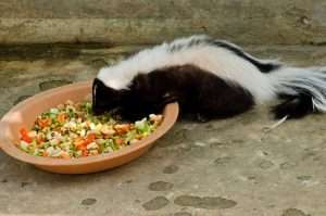 Don't feed skunks if you want to avoid problems.
