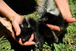 Don't play with skunks even if they are babies and cute.