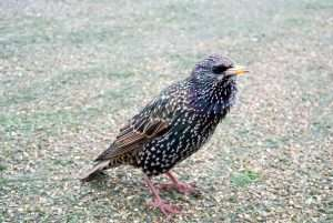 Barnes Wildlife Control - Starlings can be very destructive birds and the are loud and annoying.