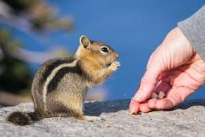 Don't feed chipmunks if you don't want them in your yard. They love to eat!