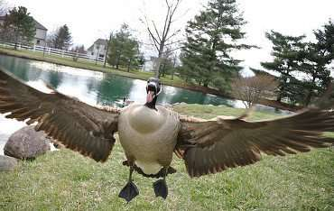 Are geese overwhelming your property? If so contact us now!