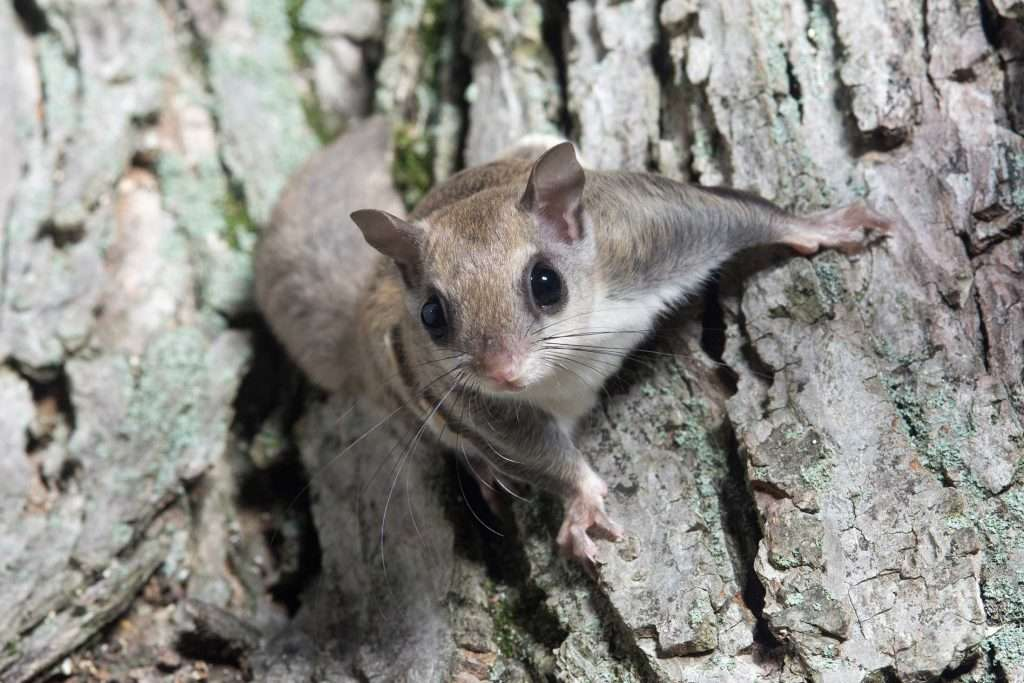 flying-squirrel-on-side-of-tree