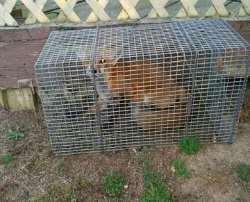 This Red Fox Was Trapped in Tipp City, Ohio and Then Released In a Suitable Habitat