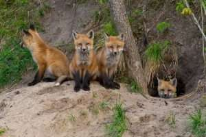 Do you have a red fox den  on your property? Fox babies, kits, running around in your yard?