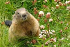 Stop groundhogs from damaging your property. Call Barnes Wildlife Control.