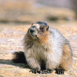 Are you seeing woodchucks in the yard eating the flowers of the petunias stems? We have a solution! Get groundhog and woodchuck trapping now! Barnes Wildlife Removal is number 1 in groundhog removal.