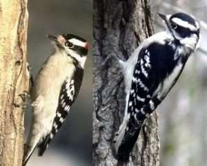 Male and Female Downy Woodpecker