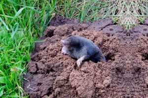 Getting tired of moles piling up dirt in your yard?