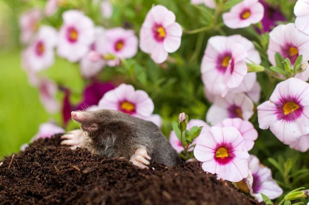 Kettering Mole Yard Removal. Are moles popping up in your flower bed?