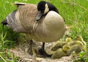 A mother goose and her goslings.