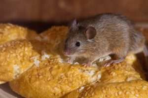 Middletown Rodent Removal Service will take care of your bread eating house mouse problem..