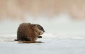 Muskrats are much smaller than beavers.