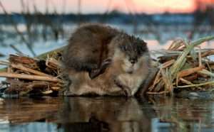Muskrat At Home During Sunset