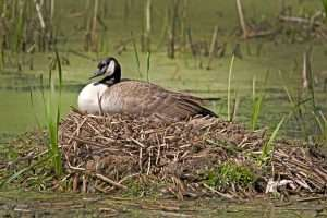 A mother goose on her mound keeping her eggs warm.
