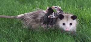 Barnes Wildlife Control Opossum advice: Please do not bother a mother opossum and her babies. She can be very protective and give a good bite.