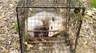 Barnes Wildlife Control is fully equipped with possum trapping and removal equipment. Call us and we'll take care of the problem.