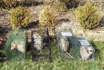 Barnes Wildlife Control Successful Opossum Trapping Oakwood Ohio