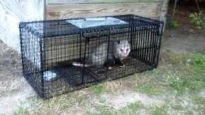 Another successful opossum catch for Barnes Wildlife Control opossum experts.