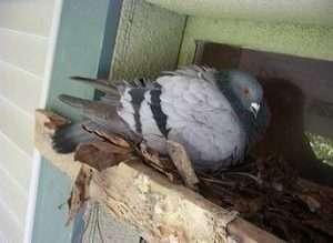 Barnes Wildlife Control pigeon removal