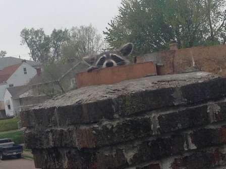This raccoon was in a chimney near Dayton Ohio