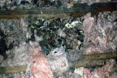 Raccoon Droppings in Attic Insulation Centerville, Ohio
