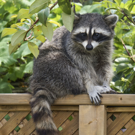 raccoon on fence