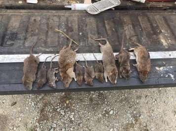 Rats  carry bacterial diseases like Rat Bite Fever and Leptospirosis.  Another successful rat  catch for Barnes Wildlife Control.