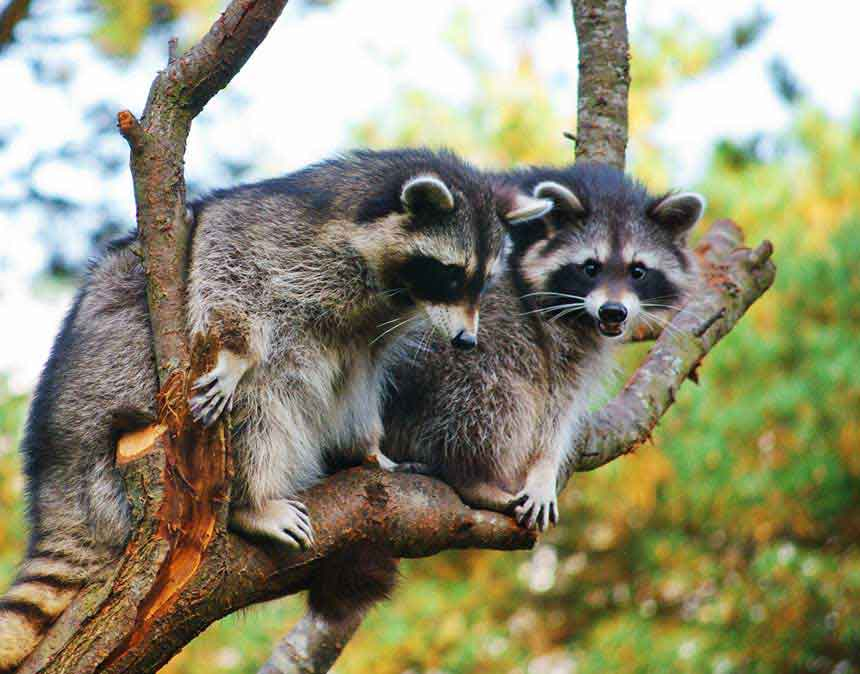 RACCOONS ARE A MAJOR HOST OF RABIES IN THE U.S. THEY LOVE GETTING INTO ATTICS AND RAISING THEIR YOUNG.