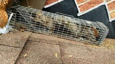 Several Squirrels Trapped as they exit Xenia, Ohio home. Barnes is number one for squirrel removal.