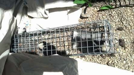"Juvenile ""baby"" skunks trapped as they were coming out from under the porch. This was a condo in Beavercreek, Ohio"